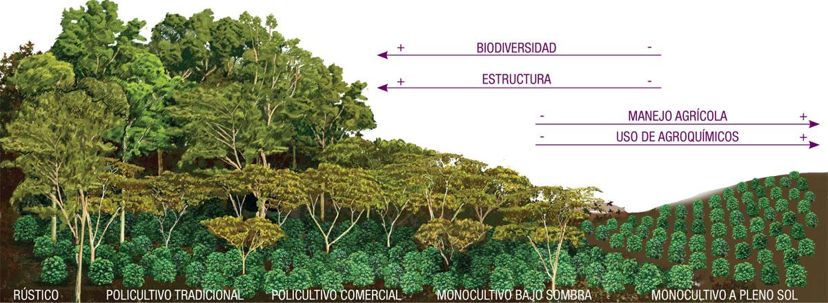 En México más de 90% de la superficie cultivada con café se encuentra bajo sombra, con una gran diversidad de especies que proveen servicios ambientales, como conservación del suelo, captación y retención de agua y nutrientes, regulación del azolve de los ríos y mitigación del cambio climático.